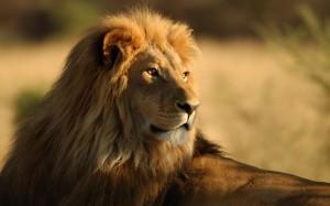 animals_widewallpaper_leo-the-lion_59976