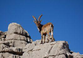 Capricornio y su relaci+¦n con la Cabra