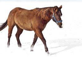 Quarter Horse in Snow Landscape