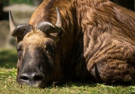 Bull sleeping in Grass, Close Up